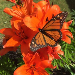 Monarch Butterfly feeding on nectar of an Asiatic Lily used in Butterfly gardening in Ottawa.