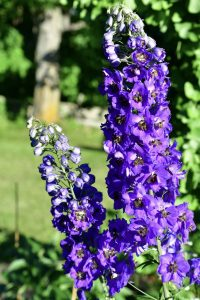Blue Delphiniums provide a source of nectar for butterflies and are often used in butterfly gardening in Ottawa.