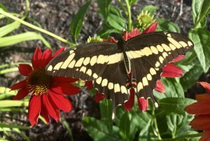 Giant Swallowtail butterfly feeding on the nectar of coneflowers used in butterfly gardening in Ottawa.
